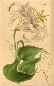 Shown are lance-shaped leaves and a white lily with pink spots and reflexed petals.  Curtis's Botanical Magazine t.3785, 1840.