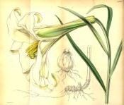Shown are lance-shaped leaves and trumpet-shaped, cream flowers tinged with green.  Curtis's Botanical Magazine t.4561, 1851.