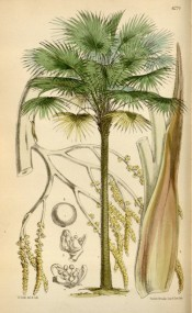 The image depicts the palm tree with fan-like fronds and details of flower and fruit.  Curtis's Botanical Magazine t.6274, 1877.