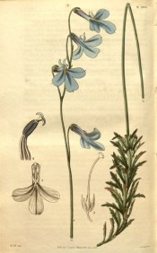 Shown are the toothed, lance-shaped leaves and large purplish-blue flowers.  Curtis's Botanical Magazine t.2701, 1826.