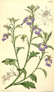 Figured is a trailing plant with pinnatifid leaves and blue, white-throated flowers.  Curtis's Botanical Magazine t.5088, 1858.