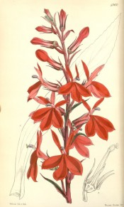 Figured is a raceme of scarlet flowers on a dark red stem.  Curtis's Botanical Magazine t.4960, 1857.