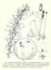The figure shows detail of the flowers of Lobelia laxiflora on the right. Flora of Guatemala p.424, fig.54. 1976
