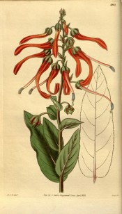 Figured are oblong, toothed leaves and crimson flowers.  Curtis's Botanical Magazine t.3207, 1833.