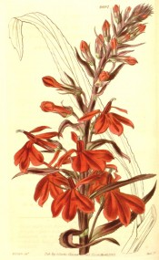 Figured is a raceme of scarlet flowers on a dark red stem.  Curtis's Botanical Magazine t.4002, 1843.
