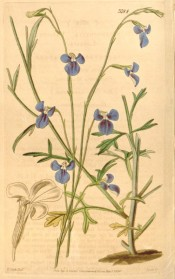 Figured are deeply toothed, obovate leaves and deep blue flowers with a white eye.  Curtis's Botanical Magazine t.3784, 1840.