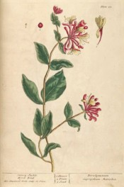 Shown is a climber with oval leaves and axillary whorls of tubular, pink-flushed flowers.  Blackwell pl.25, 1837.