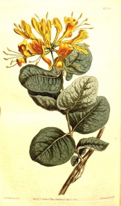 Shown are elliptic leaves and terminal, spreading whorls of  yellow flowers.  Curtis's Botanical Magazine t.1318, 1810.