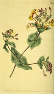 Figured is a twining honeysuckle with cream and white flowers, flushed pink outside.  Curtis's Botanical Magazine t.640, 1803.
