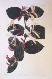 Figured are ovate leaves and axillary pairs of tubular, purple-flushed, white flowers. Loddiges Botanical Cabinet no.1037, 1826.