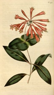 Figured are oblong leaves and terminal whorl of tubular, rich scarlet-orange flowers.  Curtis's Botanical Magazine t.1753, 1815.