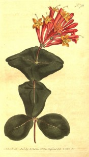 Figured are oval leaves and terminal whorls of tubular, rich scarlet-orange flowers.  Curtis's Botanical Magazine t.781, 1804.