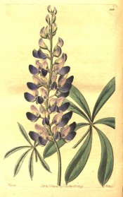 Figured is a lupin with palmate leaves, flowers dark blue with a pink spot on the standards.  Botanical Register f.1216, 1829.