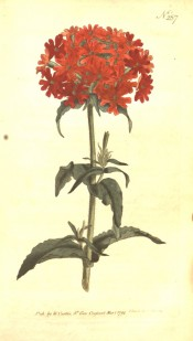 The image shows a rounded umbel of many small, scarlet flowers.  Curtis's botanical Magazine t.257, 1794.