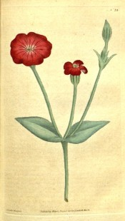 Depicted is a shoot with greyish foliage and single, bright red flowers.  Curtis's Botanical Magazine t.24, 1787.