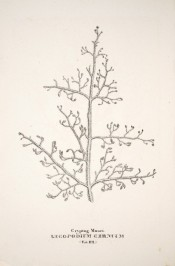The figure is a line drawing of a forked branch.  Flora Fluminensis t.112, 1827.