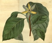 Illustrated are the large ovate leaves and cup-shaped, single, yellow-green flowers.  Curtis's Botanical Magazine t.2427, 1823.