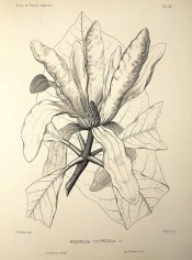 Figured are details of leaf and an open, vase-shaped flower in black and white .Silva of North America vol.1, pl.9, 1891.