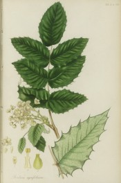 Illustrated are the holly-like leaves and dense, terminal racemes of yellow flowers.  Pursh pl.4, 1814.
