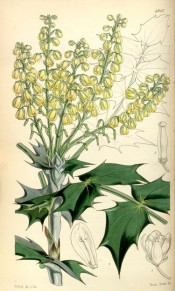 Figured are spiny leaves and upright racemes of pale yellow bell-shaped flowers.  Curtis's Botanical Magazine t.4852, 1855.