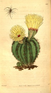 Figured is a globose, ribbed cactus with yellow flowers.  Curtis's Botanical Magazine t.3107, 1831.