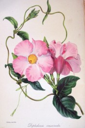 The image shows a twining climber with pink trumpet flowers.  Paxton's Magazine of Botany p.25, 1845.