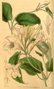 Illustrated are twining stem, ovate leaves and white, trumpet-shaped flowers.  Curtis's Botanical Magazine t.3797, 1840.