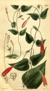Figured is a twining climber with heart-shaped leaves and tubular red flowers.  Curtis's Botanical Magazine t.3202, 1833.