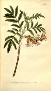 Illustrated are pinnate, toothed leaves and a droopy raceme of red flowers .  Curtis's Botanical Magazine t.301, 1795.