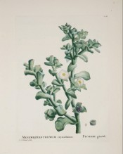 Figured is a succulent with thick, fleshy leaves and white, narrow-petalled flowers.  Plantarum Historia Succ. pl.128, 1803.