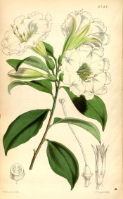 Figured are ovate-lanceolate leaves and terminal cyme of trumpet-shaped white flowers. Curtis's Botanical Magazine t.4747, 1853.
