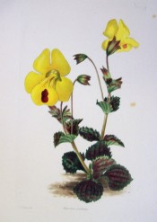 The image depicts toothed leaves and yellow flowers with a red dot on the lower lobe.  Curtis's Botanical Magazine t.1575, 1831.