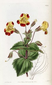 The image shows toothed leaves and yellow flowers, the petal tips splotched with red.  Botanical Register f.1674, 1834.