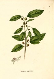 Figured are toothed, ovate leaves and small, axillary, red-green fruits.  Saint-Hilaire Arb. pl.44, 1824.