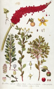 A number of plants are figured together with flowers and fruits in some detail.   Jacquin pl.1, 1809.