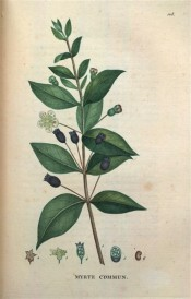 Figured are the glossy ovate-lanceolate leaves, white flowers and black berries.  Saint-Hilaire Tr. pl.108, 1825.