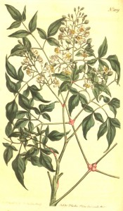 Figured are reddish stems, pinnate leaves and upright panicles of white flowers.  Curtis's Botanical Magazine t.1109, 1808.