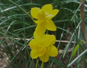 The photograph shows 2 double narcissi with bright yellow flowers.