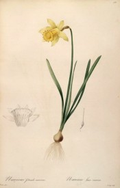Illustrated is a daffodil, bulb, leaves and flower with yellow perianth and long yellow trumpet.  Redouteé L pl.158, 1802-15.