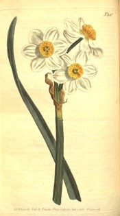 Illustrated is a leaf and flowers with white perianth and frilly orange cup.  Curtis's Botanical Magazine t.940, 1806.