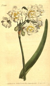 Shown are flowers with white perianth segments interspersed with yellow corona.  Curtis's Botanical Magazine BM t.1011, 1807.