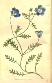 Depicted is a straggling plant with divided leaves and bright blue single flowers.  Curtis's Botanical Magazine t.3485, 1836.