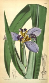 Shown are leaves and blue iris-like flowers with white, yellow and brown stripes.  Curtis's Botanical Magazine t.5612, 1866.