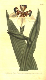 Figured are leaves and white iris-like flowers, mottled brown, yellow and blue.  Curtis's Botanical Magazine t.654, 1803.