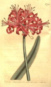 Illustrated is a leaf and umbel of bright red flowers with narrow, reflexed segments.  Curtis's Botanical Magazine t.725, 1804.