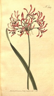 Shown are a leaf and umbel of delicate pink flowers with undulated, reflexed segments.  Curtis's Botanical Magazine t.369, 1797.