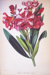 Figured are leaves and double red flowers, with a pink centre and white streaks.  Paxton's Magazine of Botany p.54, 1844.