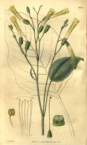 Figured is a slender shoot with ovate leaves and slender,  tubular yellow flowers.  Curtis's Botanical Magazine t.2837, 1828.