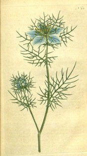 Depicted are the ferny leaves and sky blue flowers surrounded by a cluster of leaves.  Curtis's Botanical Magazine t.22, 1787.