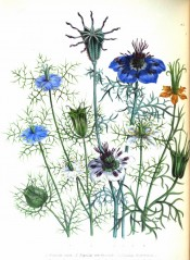 The figure is of a number of Nigella species, with mostly blue flowers.  Jane Loudon ? The Ladies Flower Garden p.10, pl.2,1838.